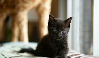8568dbf0ef0e Bombay kitten cat